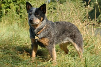 blue-heeler-australian-cattle-dog