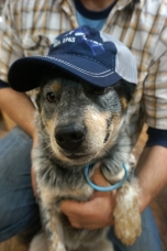 waylon-the-blue-heeler