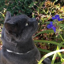 russian blue contemplates blue flower